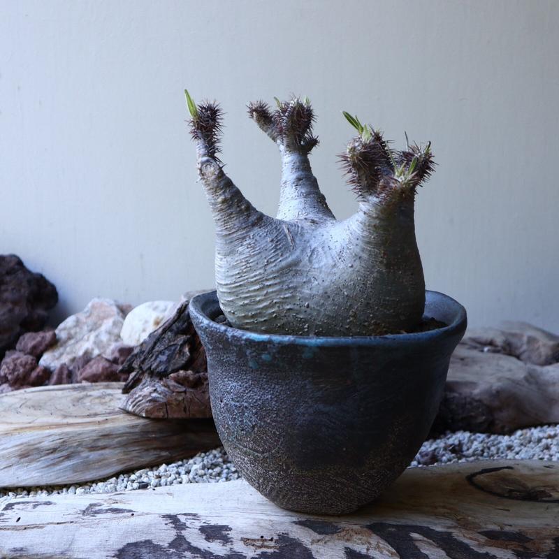 パキポディウム グラキリス Pachypodium rosulatum var. gracilius no.51935