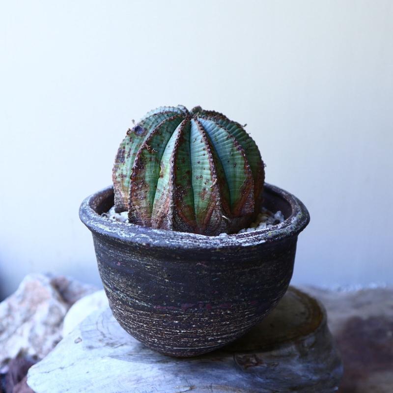 ユーフォルビア  バリダ  hyb   Euphorbia valida  hyb   no.60210