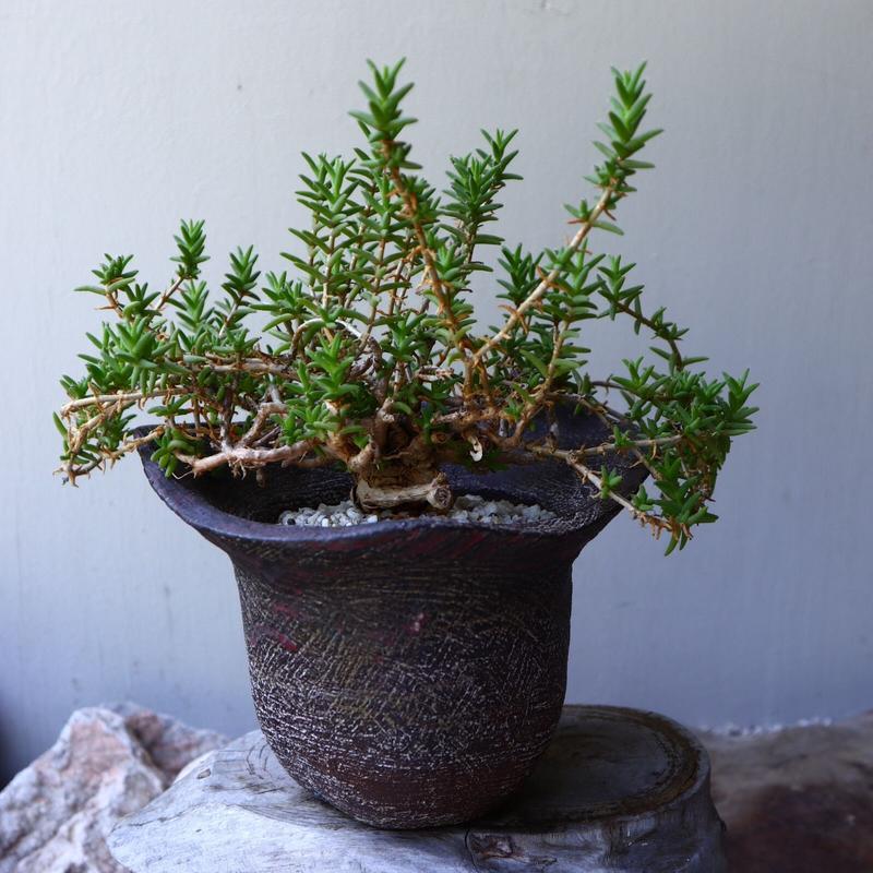 トリコディアデマ  ブルボスム  姫紅小松 Trichodiadema bulbosum    no.60231