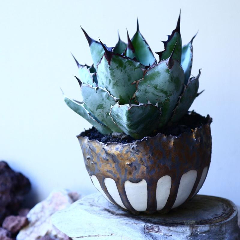 アガベ チタノタ ブラック&ブルー  Agave titanota black&bule  no.52625