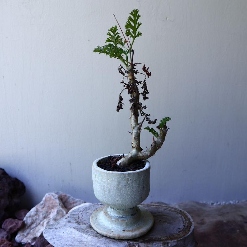 ペラルゴニウム カルノーサム  Pelargonium carnosum  no.60227