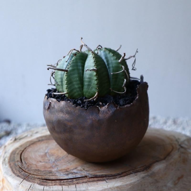 ユーフォルビア    バリダ  Euphorbia valida   no.42107