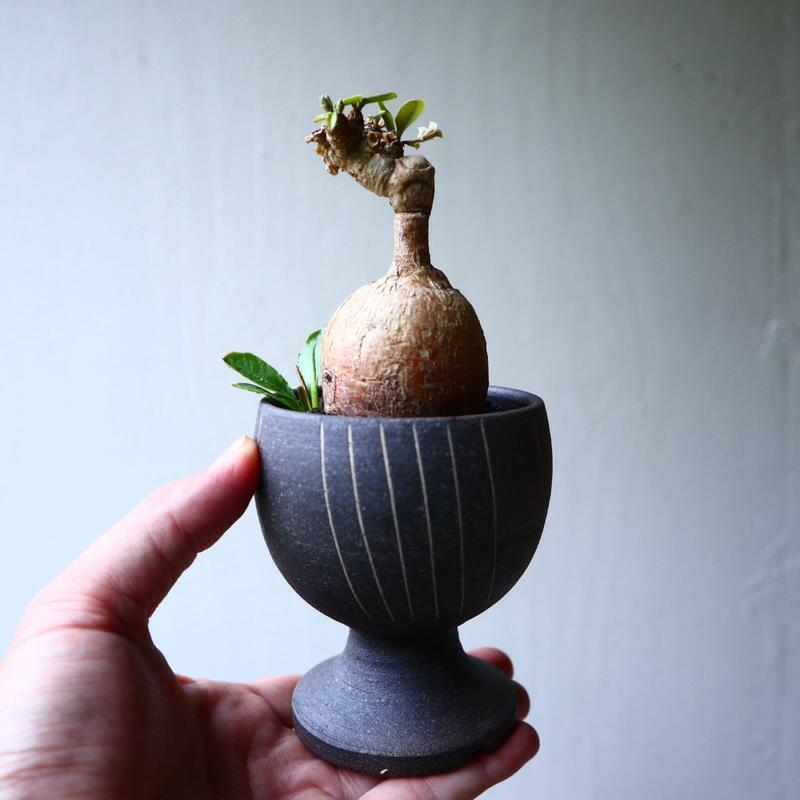 ユーフォルビア  スバポダ  Euphorbia subapoda    no.71435