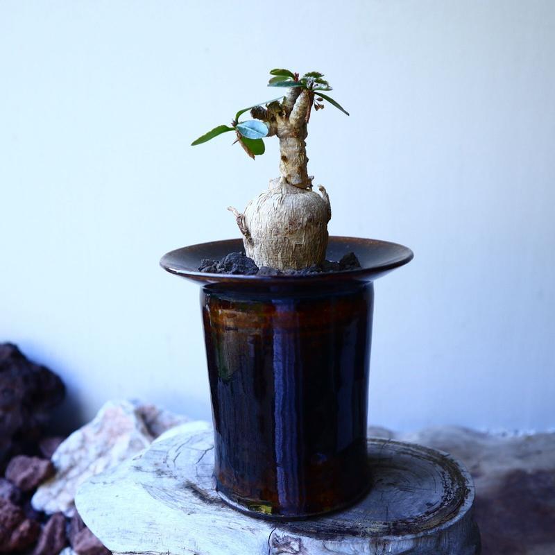 ユーフォルビア  スバポダ  Euphorbia subapoda   no.52617