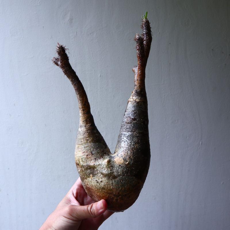 パキポディウム グラキリス 2頭 Pachypodium rosulatum var. gracilius no.70707