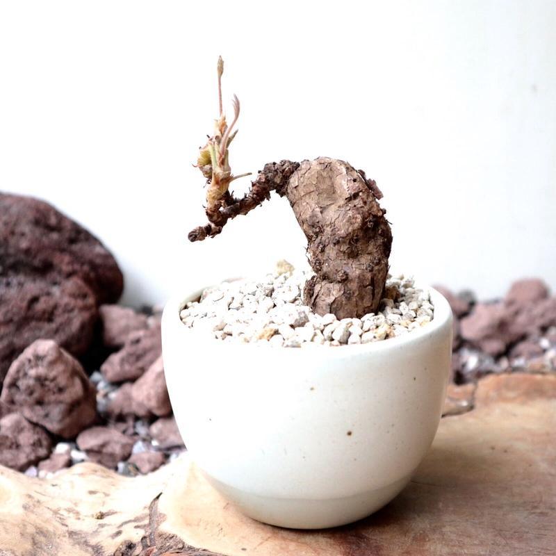 ペラルゴニウム   ルリダム   no.001   Pelargonium luridum