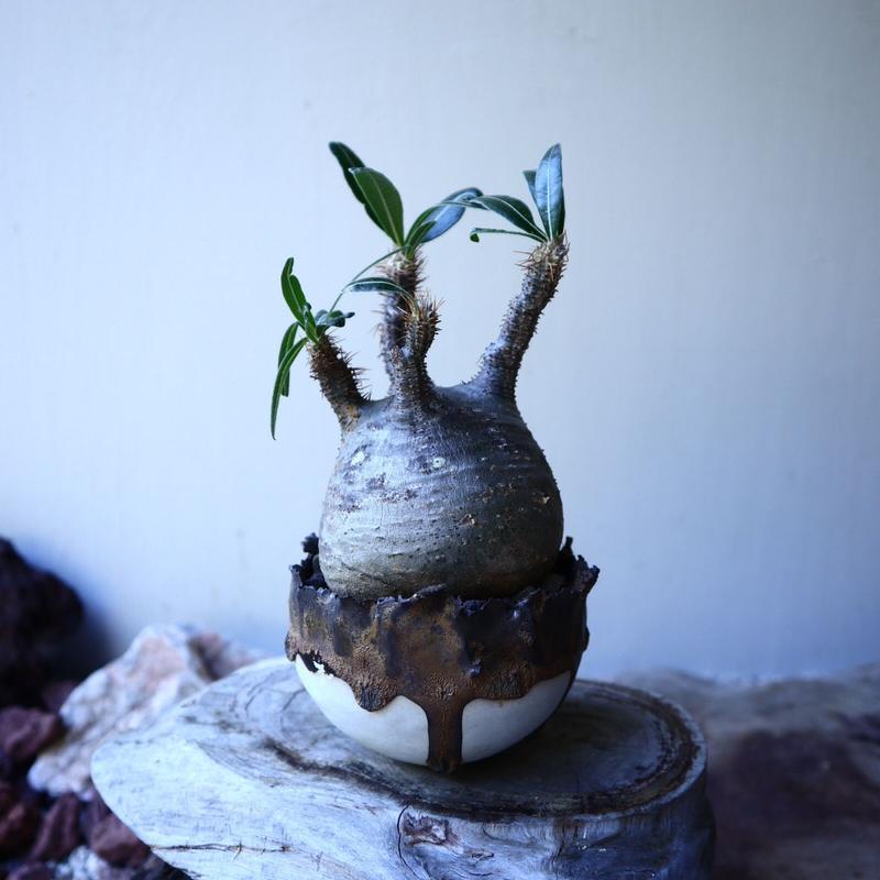 パキポディウム グラキリス Pachypodium rosulatum var. gracilius no.52602