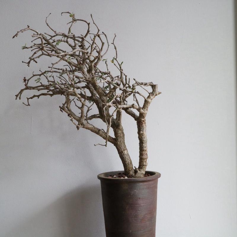 センナ   メリディオナリス   no.005  Senna meridionalis