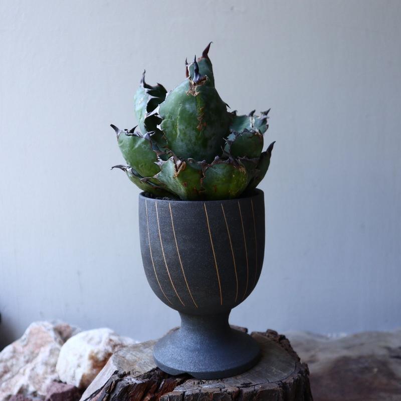 アガベ チタノタ ブラック&ブルー  Agave titanota black&bule    no.51911