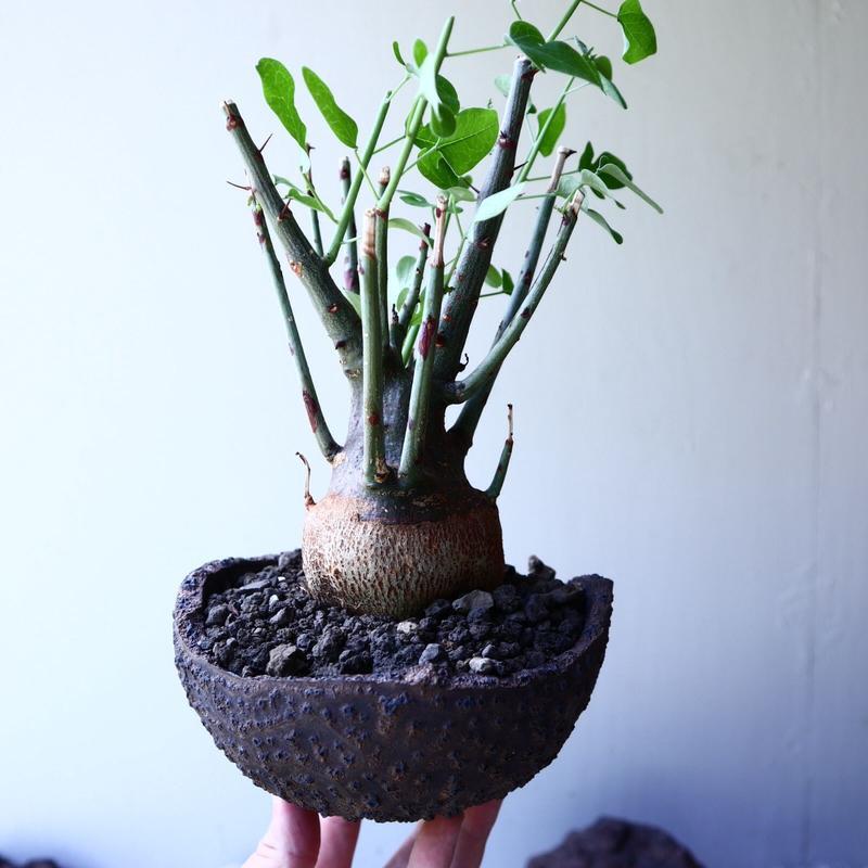 アデニア   スピノーサ   Adenia     spinosa    no.61628