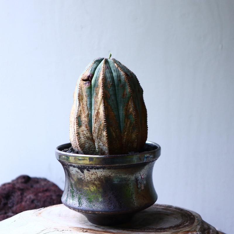 ユーフォルビア  オベサ    Euphorbia obesa no.71424