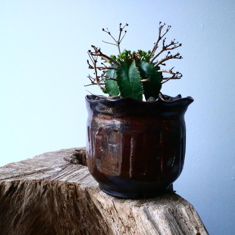 ユーフォルビア  バリダ    Euphorbia valida   No.025