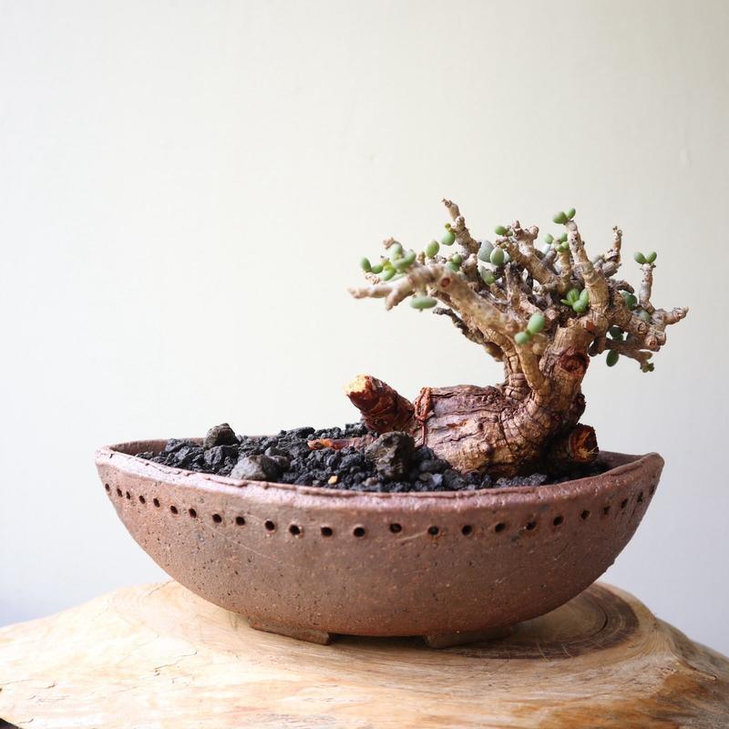 ケラリア  ピグマエア  no.029    Ceraria pygmaea