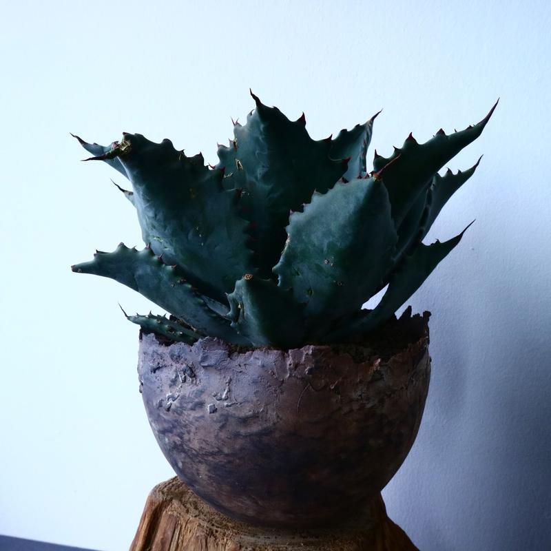 アガベ   ブルーグロウ × コロラータ〝ブルコロ〟Agave  blueglow × colorata No.31010