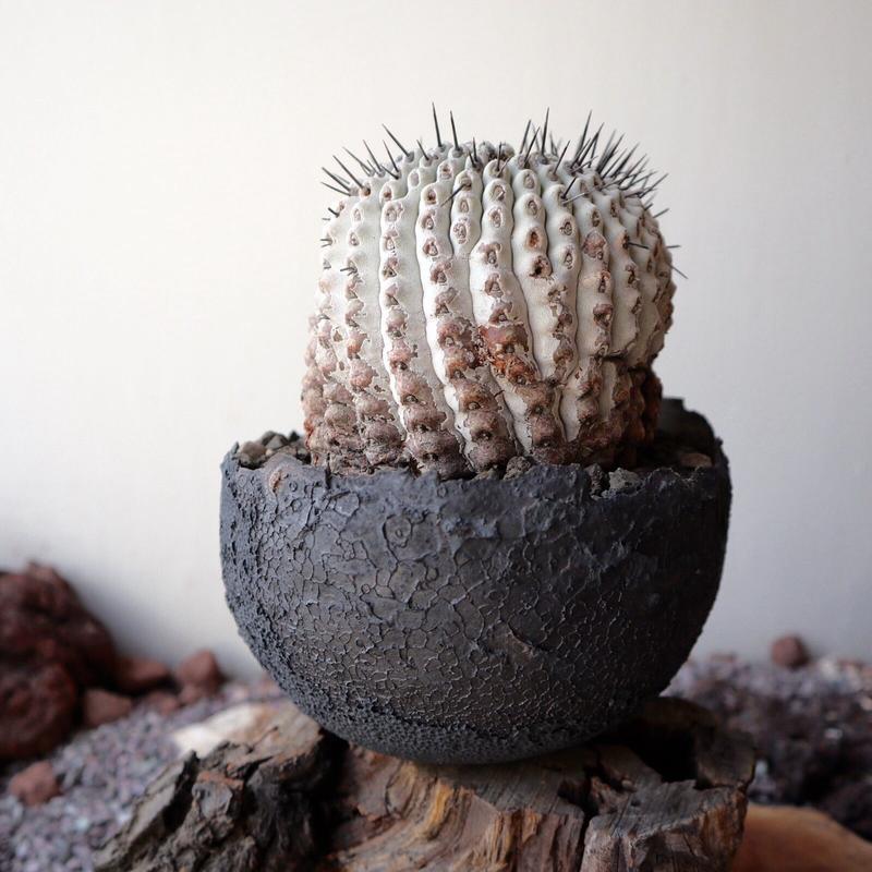 コピアポア 孤竜丸   no.002  Copiapoa cinerea var. columna-alba