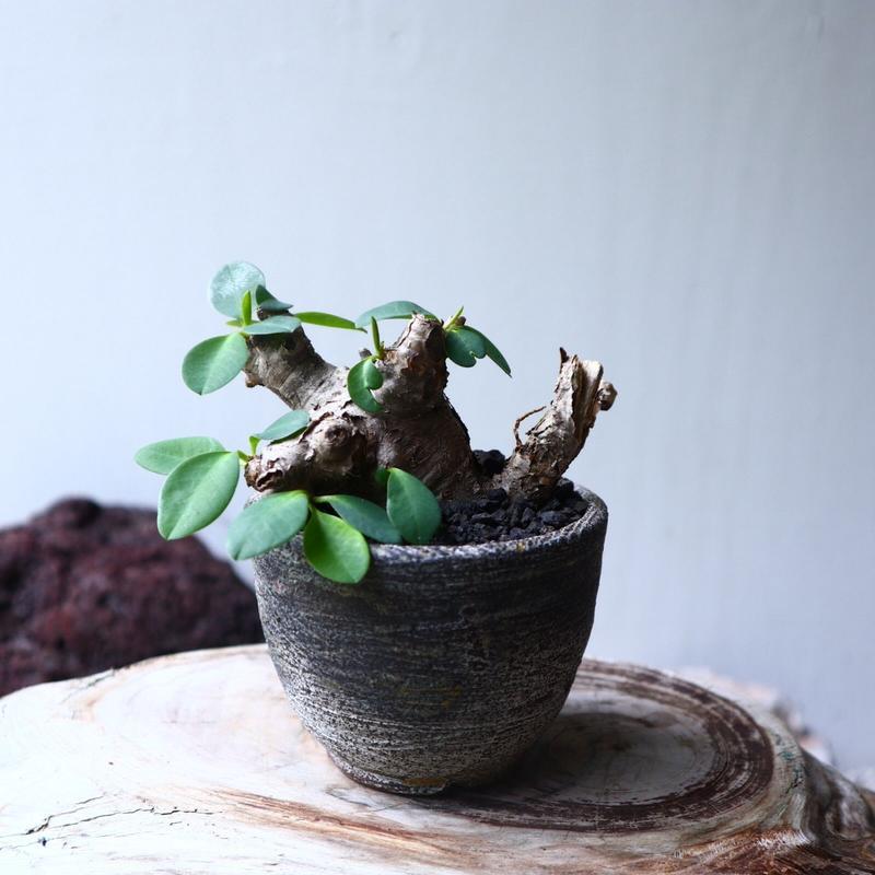 ユーフォルビア    イトレメンシス    Euphorbia itremensi  no.71411