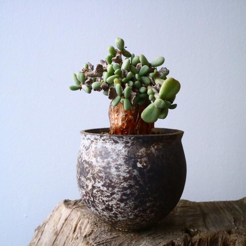 ケラリア  ピグマエア   Ceraria pygmaea    No.003