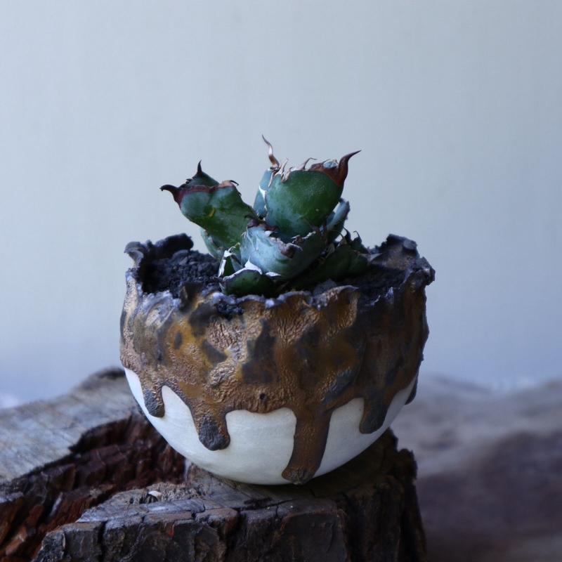 アガベ チタノタ ブラック&ブルー  Agave titanota black&buleno.51912