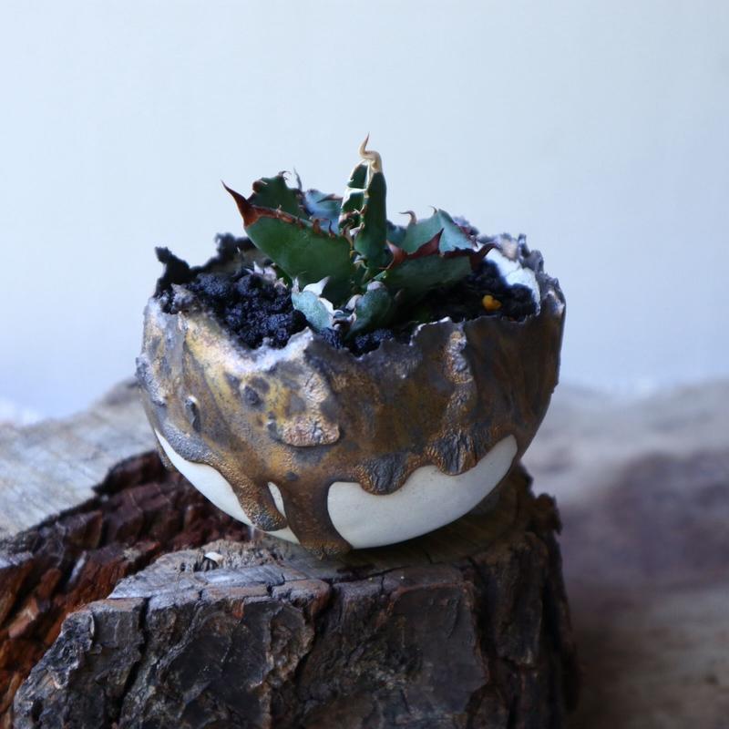 アガベ チタノタ ブラック&ブルー  Agave titanota black&buleno.51913