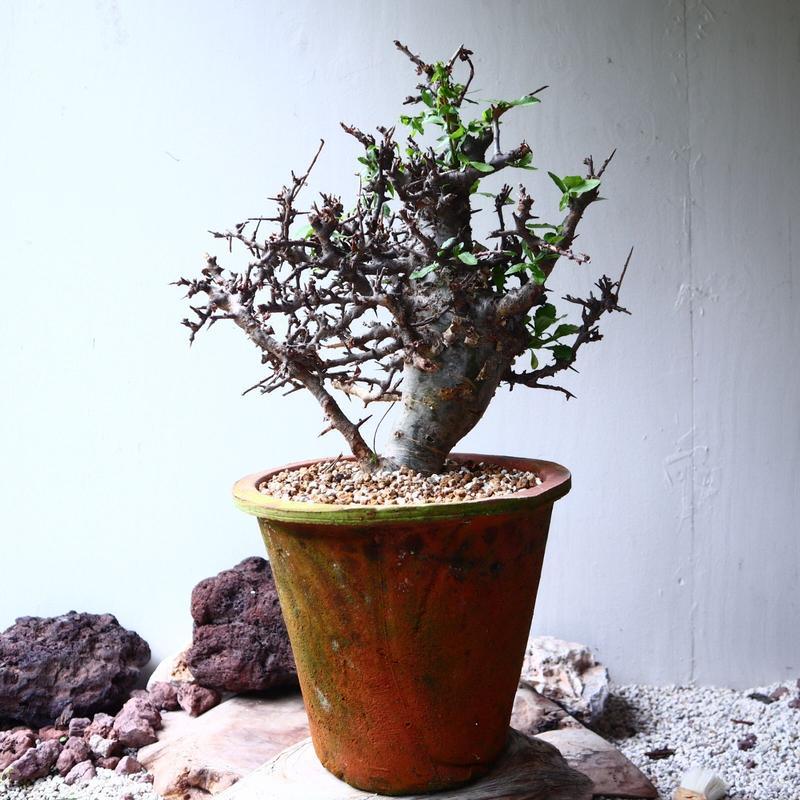 コミフォラ エミニー  Commiphora eminii no.72125