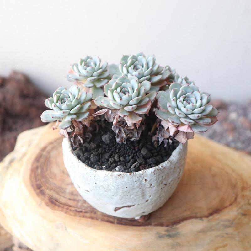 エケベリア   ミニマ   no.005   Echeveria  minima