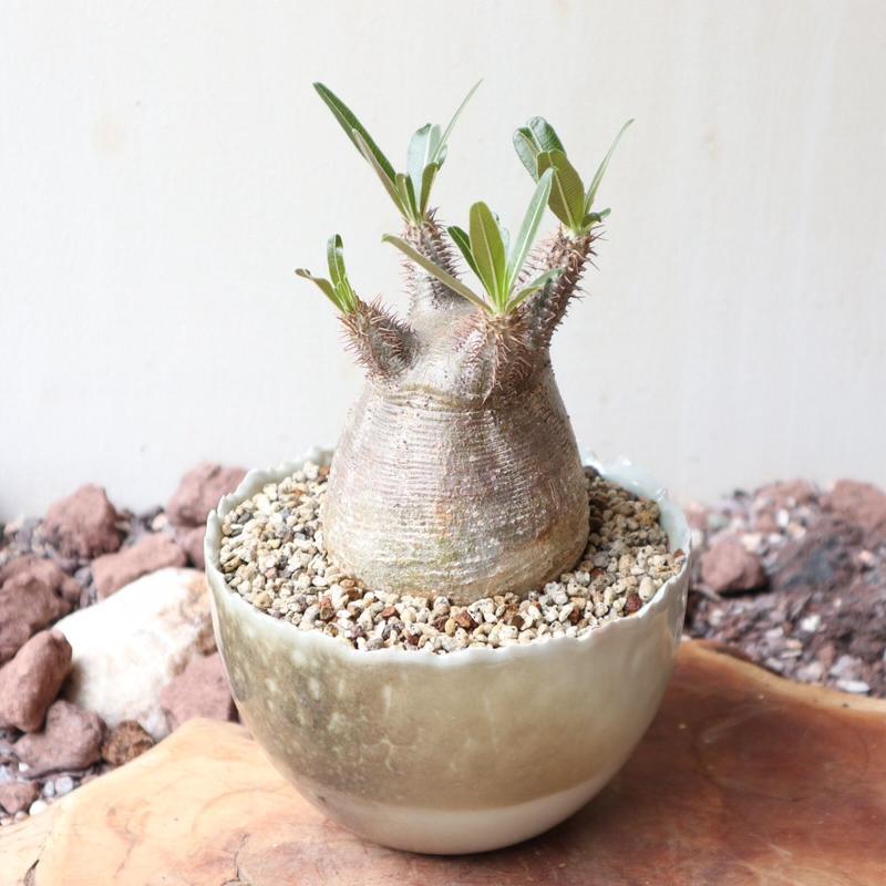 パキポディウム グラキリス   no.007  Pachypodium rosulatum var. gracilius