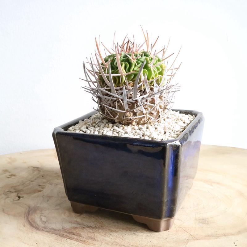 エキノフォスロカクタス  五刺玉    no.001  Echinofossulocactus pentacanthus