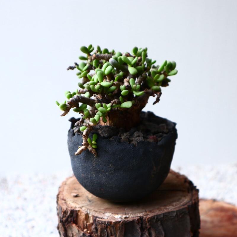 ケラリア  ピグマエア  no.030    Ceraria pygmaea