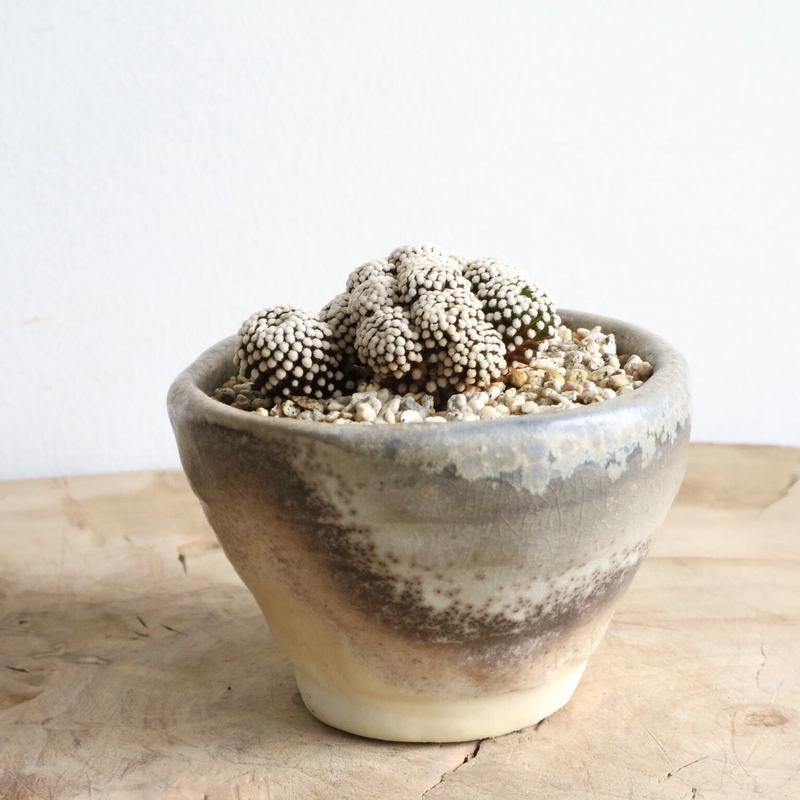 マミラリア  ルエッティー  no.001  Mammillaria luethyi
