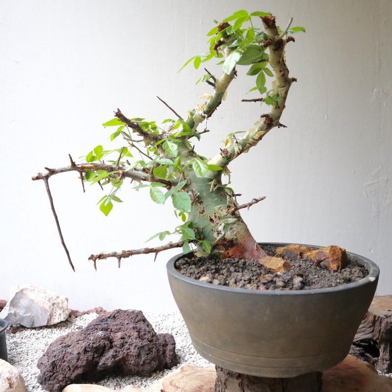 コミフォラ   アフリカーナ    no.008    Commiphora africana