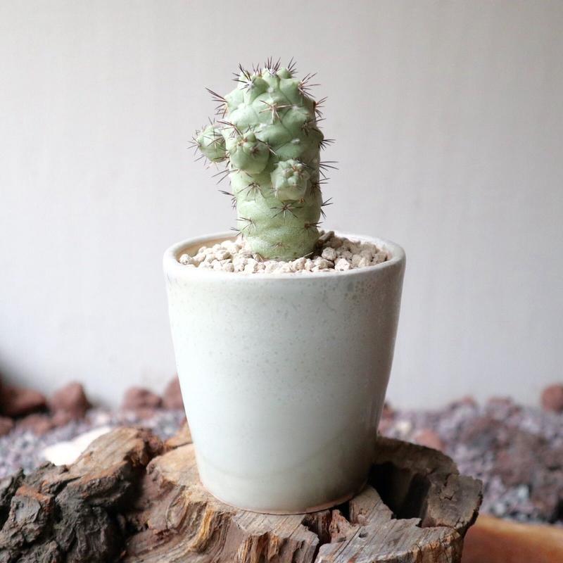 オルテゴカクタス マクドガリー no.001 Ortegocactus macdougallii