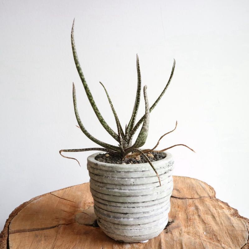 アロエ  アルビフローラ      no.002    Aloe albiflora