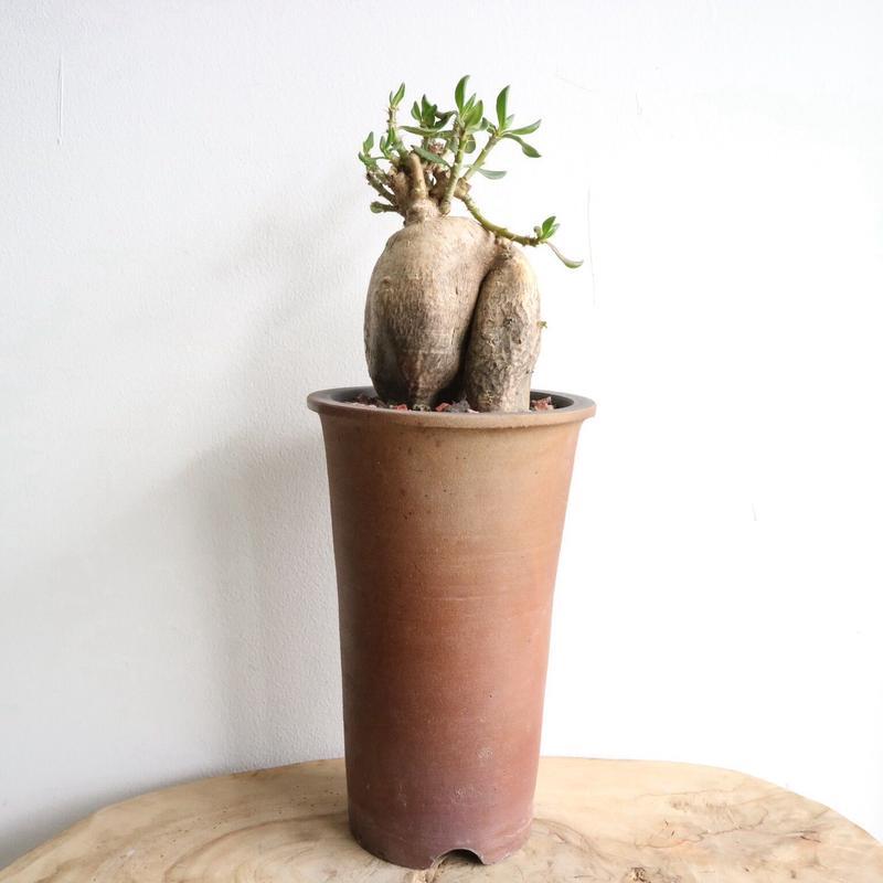 パキポディウム   ビスピノーサム   no.001   Pachypodium bispinosum
