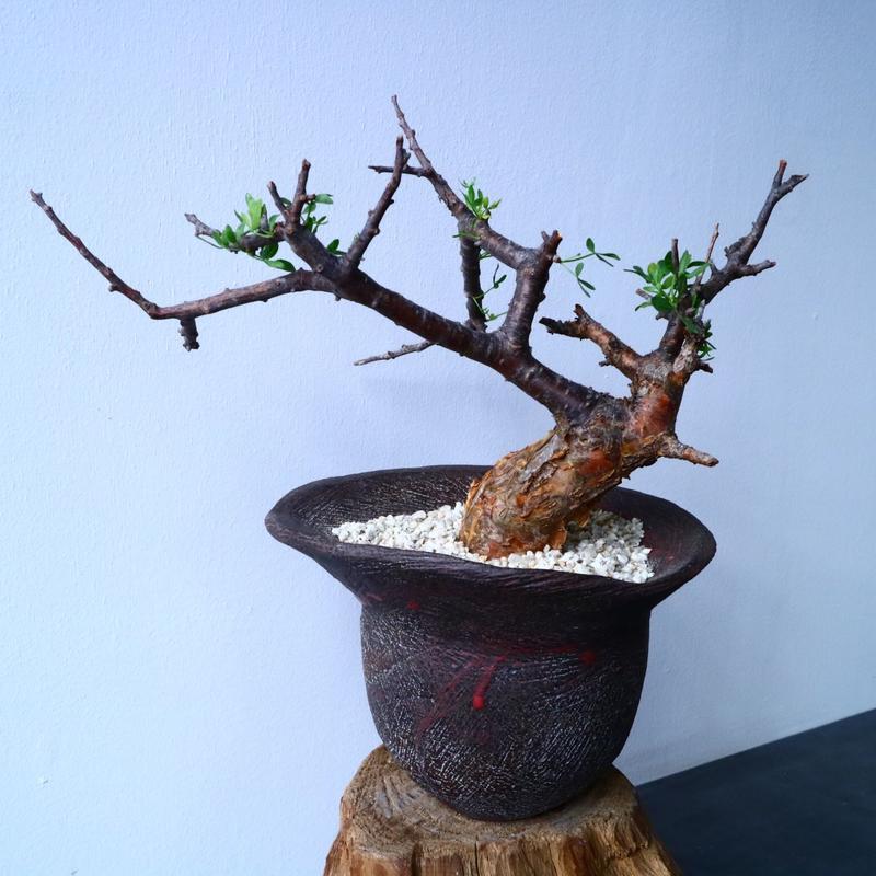コミフォラ   フォリアセア   Commiphora  foliacea No.31035