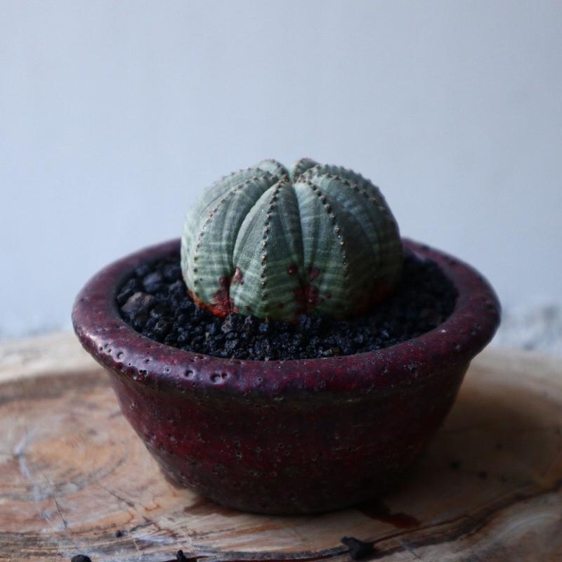 ユーフォルビア  オベサ     Euphorbia obesa   no.42102