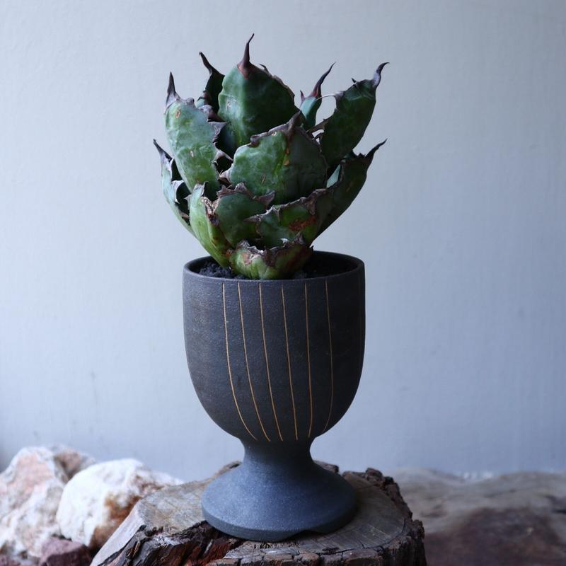 アガベ チタノタ ブラック&ブルー  Agave titanota black&bule    no.51910