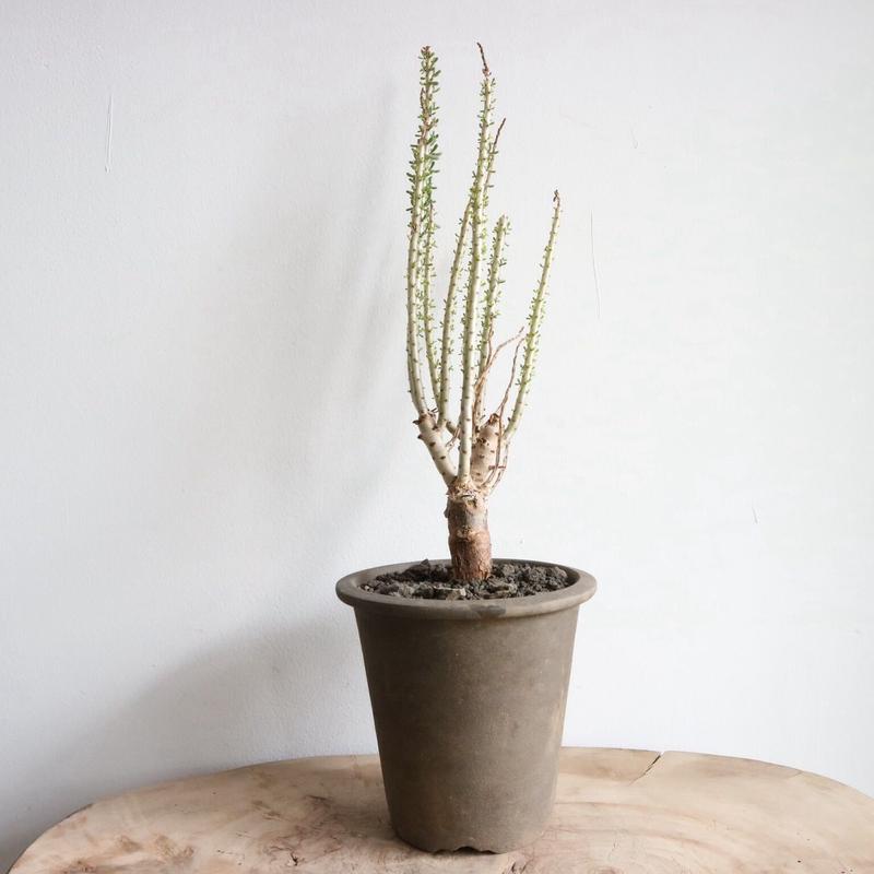 ケラリア ナマクエンシス   no.008  Ceraria namaquensis