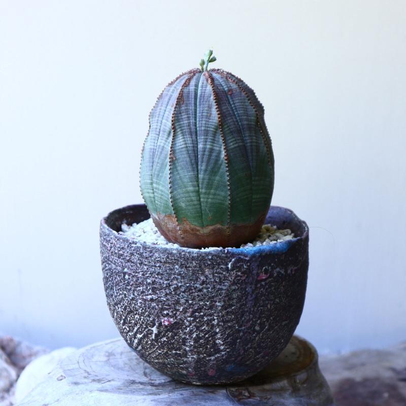 ユーフォルビア  オベサ   Euphorbia obesa no.60208