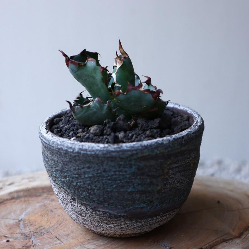 アガベ チタノタ ブラック&ブルー  Agave titanota black&bule    no.42120