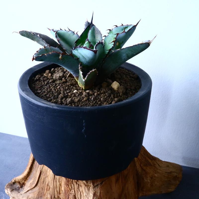 アガベ チタノタ ブラック&ブルー   Agave titanota black&bule   No.31014