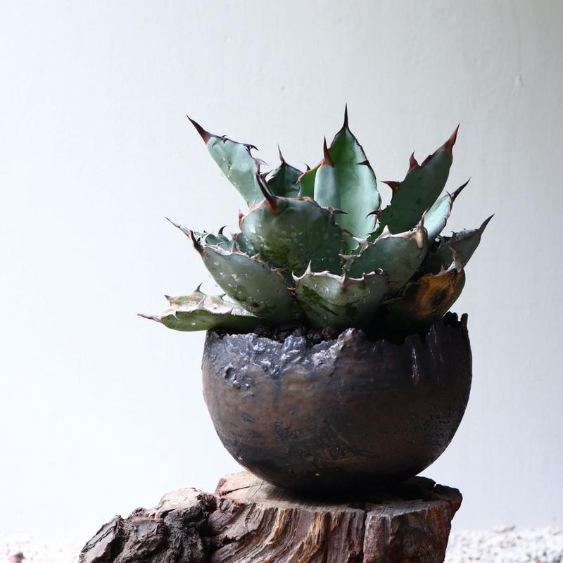 アガベ チタノタ   (ブラックアンドブルー) agave titanota  no.71501
