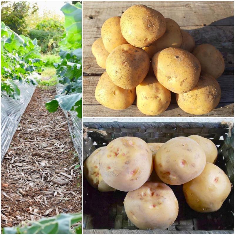 炭素循環農法(無農薬・無化学肥料) ジャガイモ《キタアカリ1kg×デジマ1kg》【北のジャガと南のジャガ食べ比べセット】(〜計8kg購入可)[クルンノウエン] made in 熊本県
