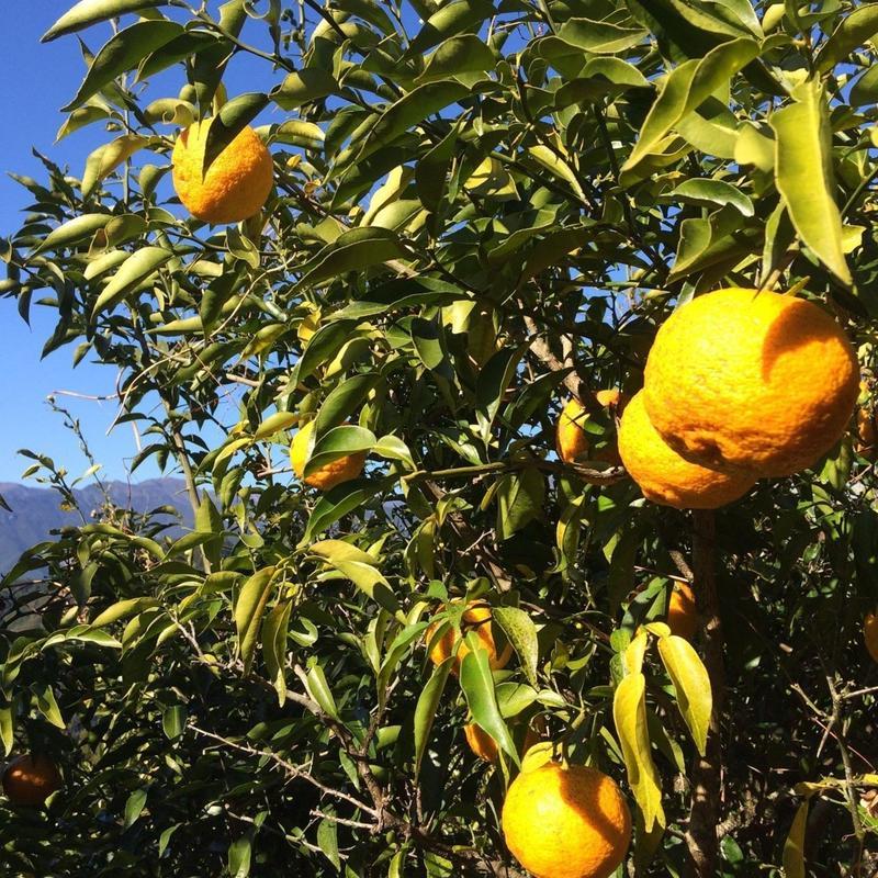 自然農法(無農薬・無化学肥料) 星空の柚子 20個 [潮と空農園] made in 高知県