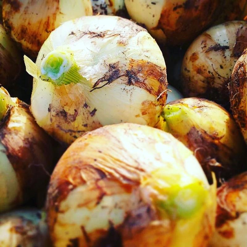 炭素循環農法(無農薬・無化学肥料) 新玉ねぎ〈こはく2号〉1kg (〜10kg購入可) [クルンノウエン] made in 熊本県