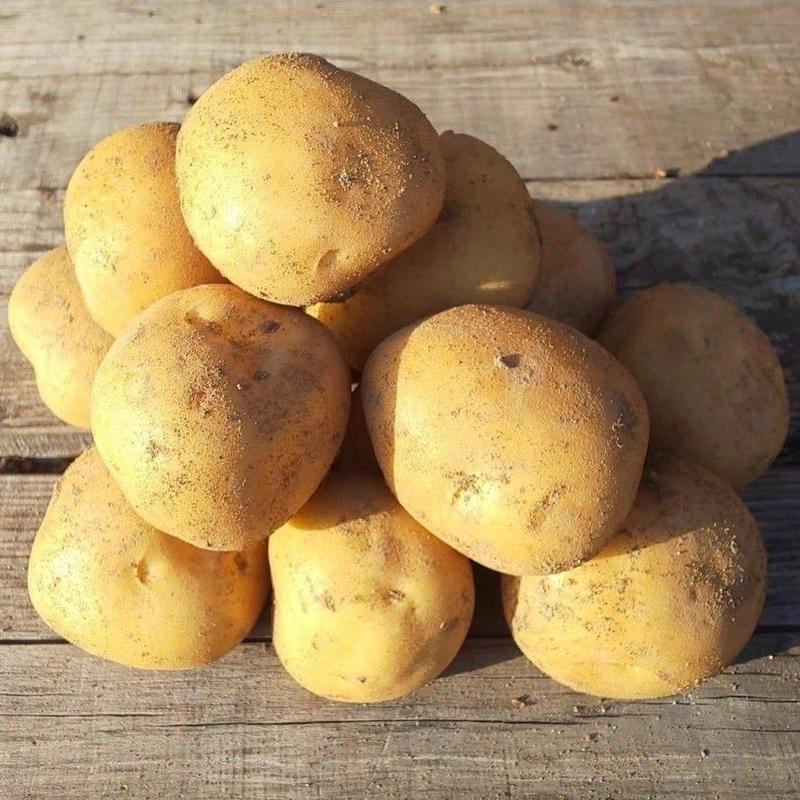 炭素循環農法(無農薬・無化学肥料) ジャガイモ《デジマ》1kg(〜10kg購入可)[クルンノウエン] made in 熊本県