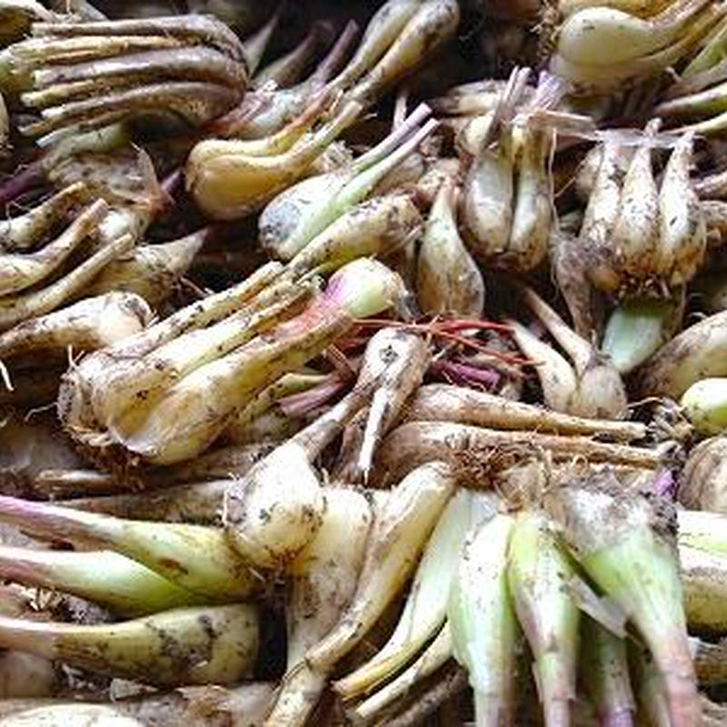 【期間限定】自然農(無農薬・無肥料・不耕起) ラッキョウ1kg (〜2kg購入可)   [BIG FAMILY FARM] made in 佐賀県