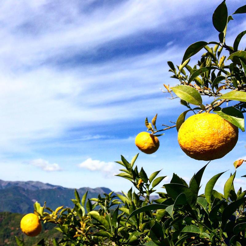 自然農法(無農薬・無化学肥料) 星空の柚子 10個 [潮と空農園] made in 高知県