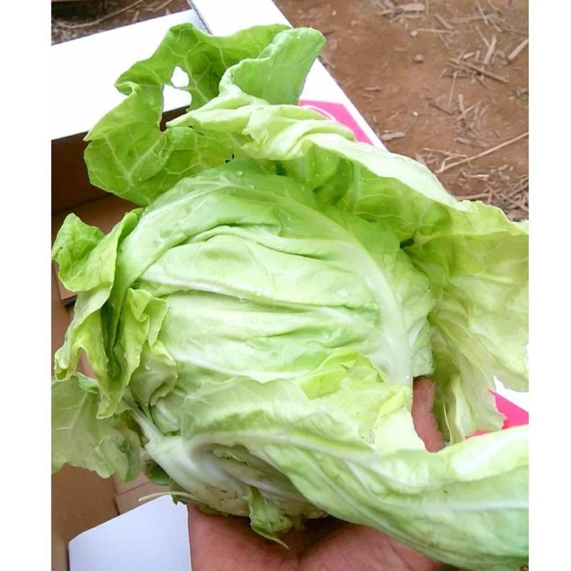 【期間限定】有機栽培(無農薬・無化学肥料)手乗りミニ春キャベツ  2個 (〜14個購入可) [SHO FARM] made in 神奈川県