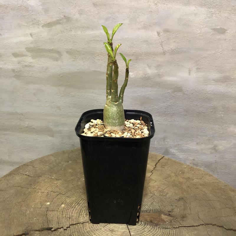 パキポディウム  デカリー  実生株 塊根植物 コーデックス