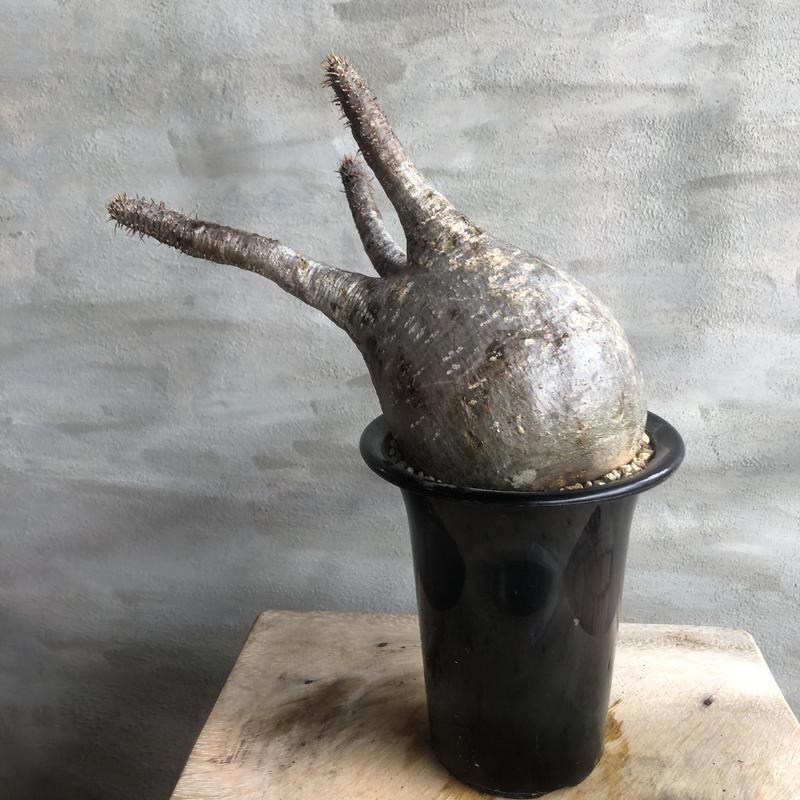 パキポディウム グラキリス  389 塊根植物 コーデックス 現地球
